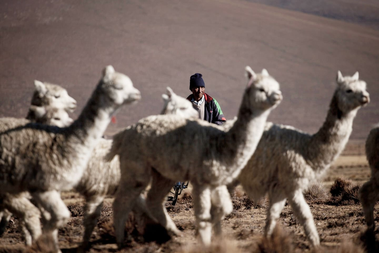 Manada de alpaca en Tocra, área de pastizales donde se encuentran muchos corrales