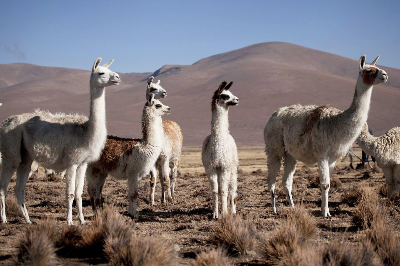 Grupo de alpacas en la meseta del Perú