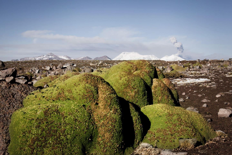 Planta de Yareta que crece entre 3200 y 4500 m.s.n.m. ubicada en la ruta Chivay a Patapampa - Perú con Bus 4M Express